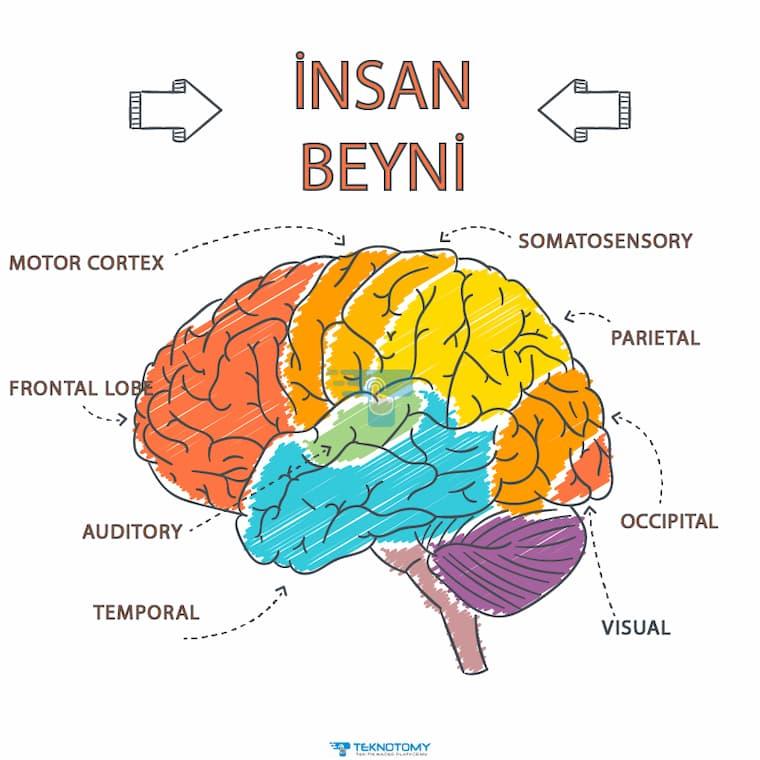 İnsan Beyninin Bölümleri